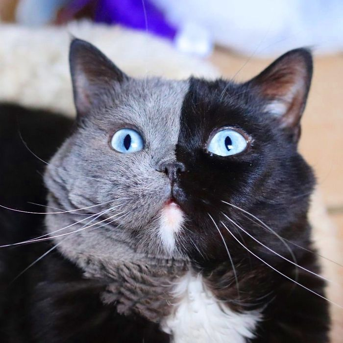 Cat With Split-Colored Face Becomes A Father To Kittens In Each Of His Colors