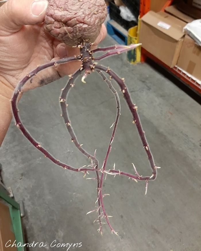 Found A Sprouted Potato At Work...