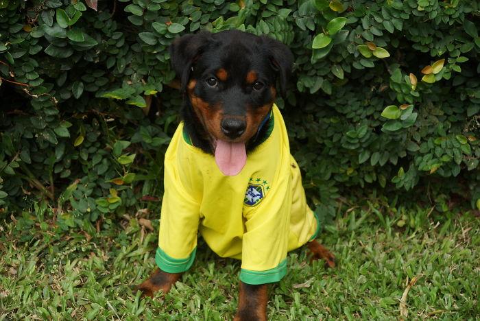 My Rotty Is A Big Brazil Football Fan !