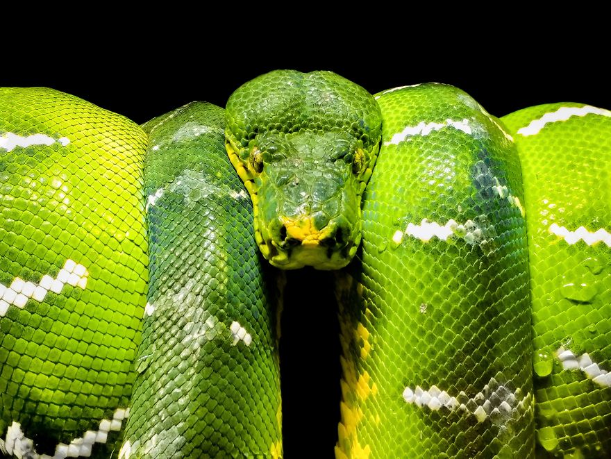 Dangerously Beautiful Green Viper