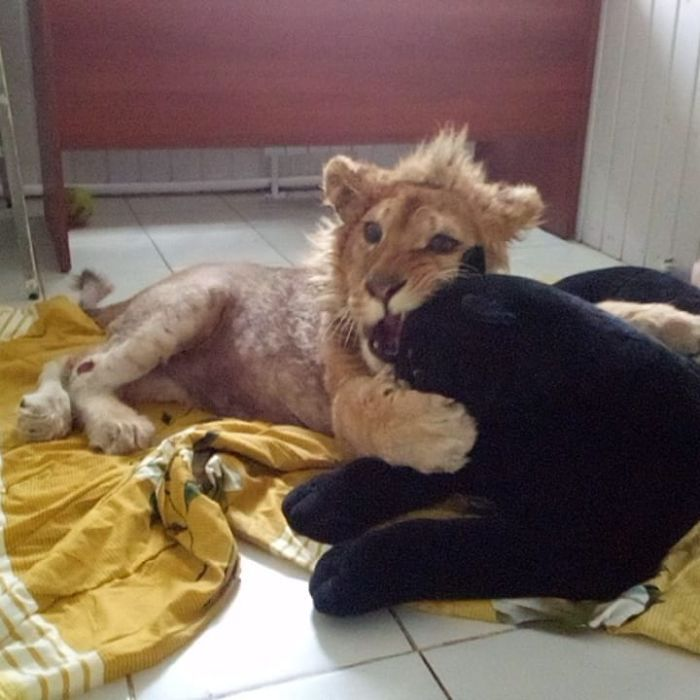 Rescuers Save Baby Lion Who Had His Legs Broken To Take Pictures With Tourists