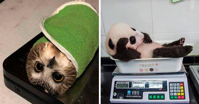 41 Trucos que usan los cuidadores para pesar a los animales
