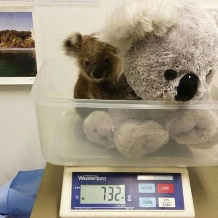 Animals-Being-Weighted