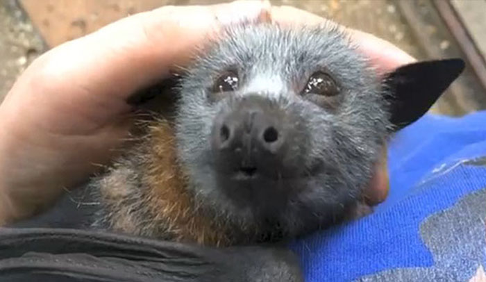 Video Shows Baby Bat Making Adorable Heart-Melting Squeaks While Being Petted