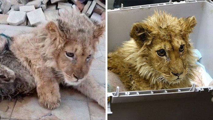 Rescatan a un cachorro de león que tenía las patas rotas para que los turistas se fotografiaran con él