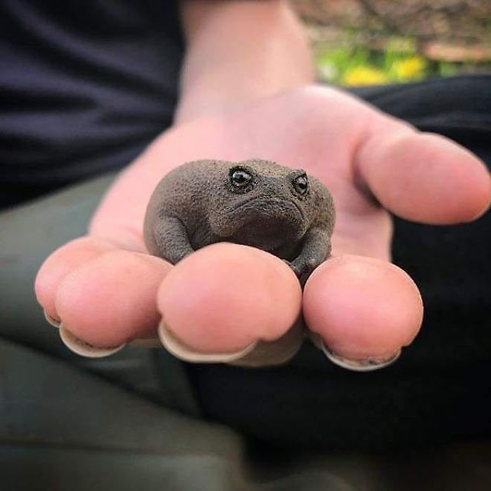 Meet African Rain Frogs That Look Like Angry Avocados And Have The Most Adorable Squeeks