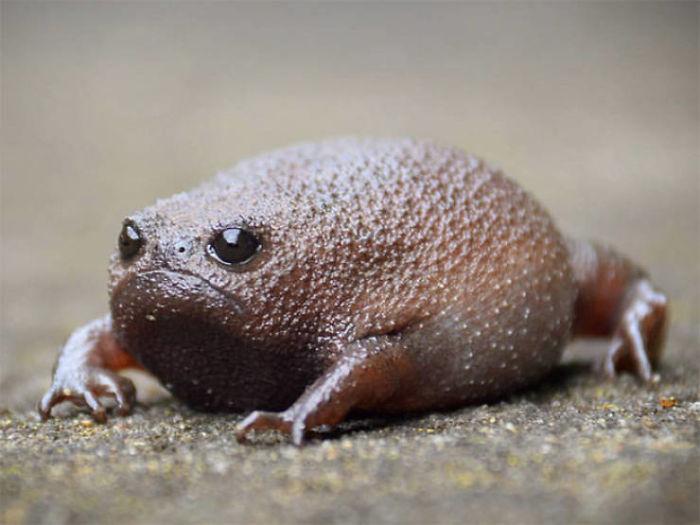 Черная дождевая лягушка
