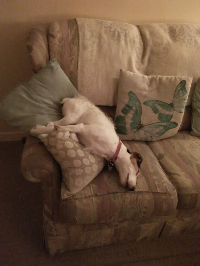 My Parsons Jack Russell Terrier Having Nap!! 😕