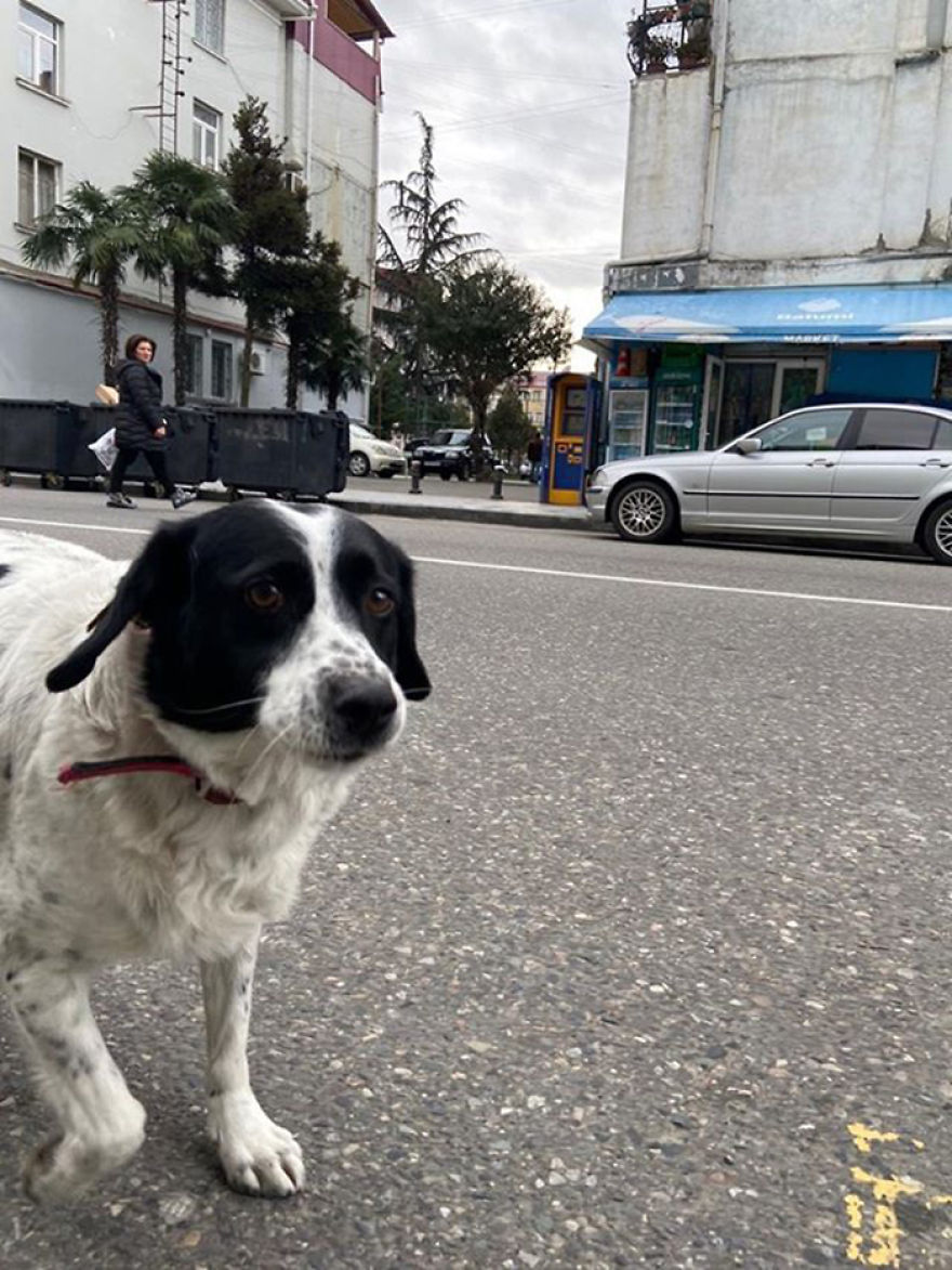 This Dog Comes Here Every Day And Helps Kindergarten Kids Safely Cross The Street