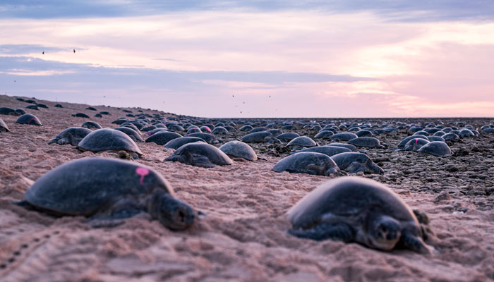 Scientists Use Drone Tech To Capture Striking Footage Of Colony Of 64,000 Green Sea Turtles