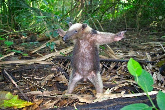 Oso hormiguero de Costa Rica...¿bailando?