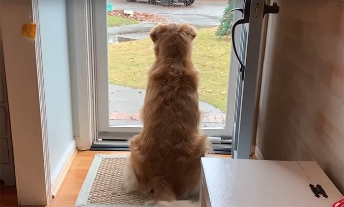 Golden Retriever Falls In Love With The Local Delivery Men, Her Owner Starts Capturing Their Daily Routine On Camera