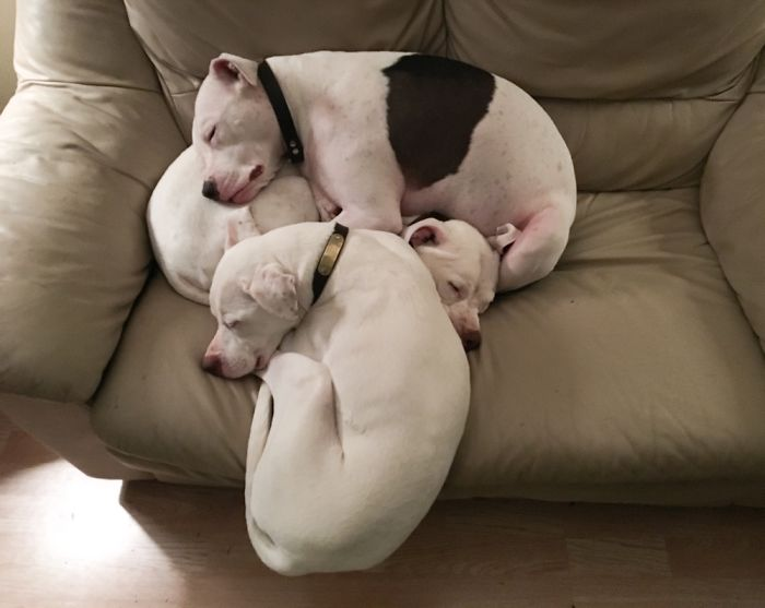 My Quinn Defying Gravity To Be Part Of The Sibling Pittie Pile (With Josh & Stella).