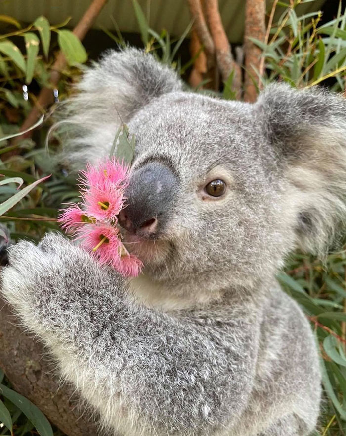 Special Friendship: Koala And Wombat Became Best Friends ...