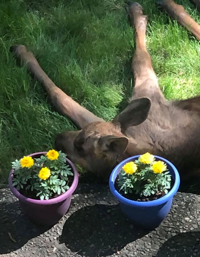 Moose And Her Calves Decide To Spend A Day In This Family's Backyard, Man Documents How It Went