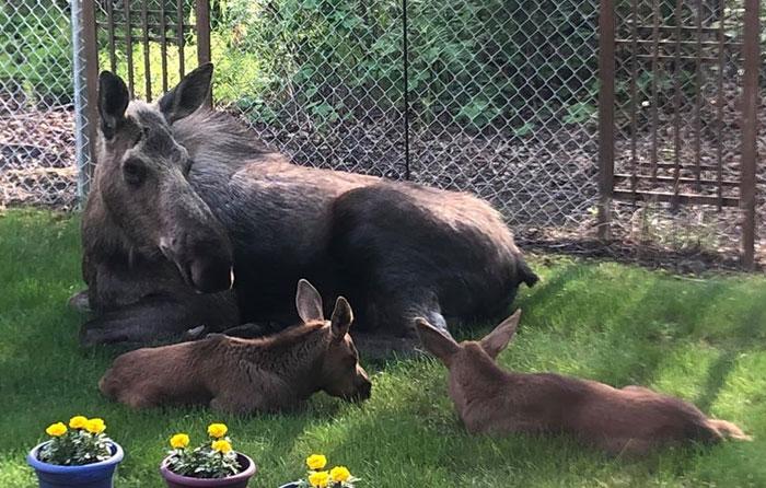 Este alce y sus crías decidieron pasar el día en el jardín de esta familia, y lo documentaron