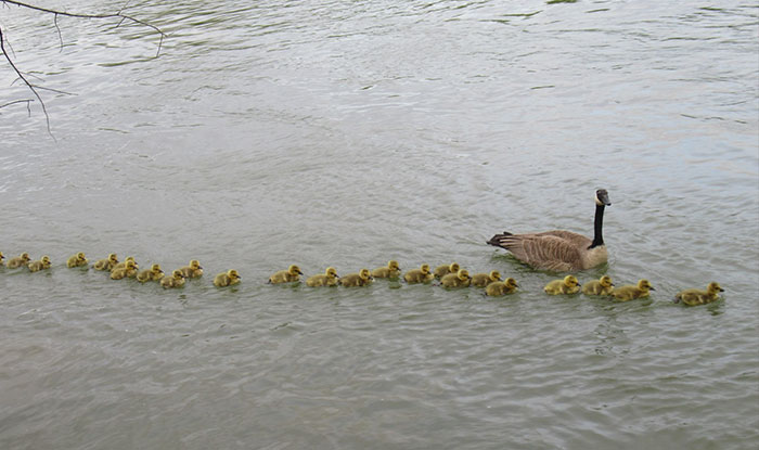 This Goose Couple Is Taking Care Of 47 Adorable Baby Goslings