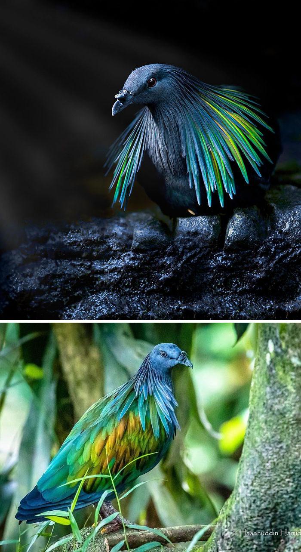 The Nicobar Pigeon