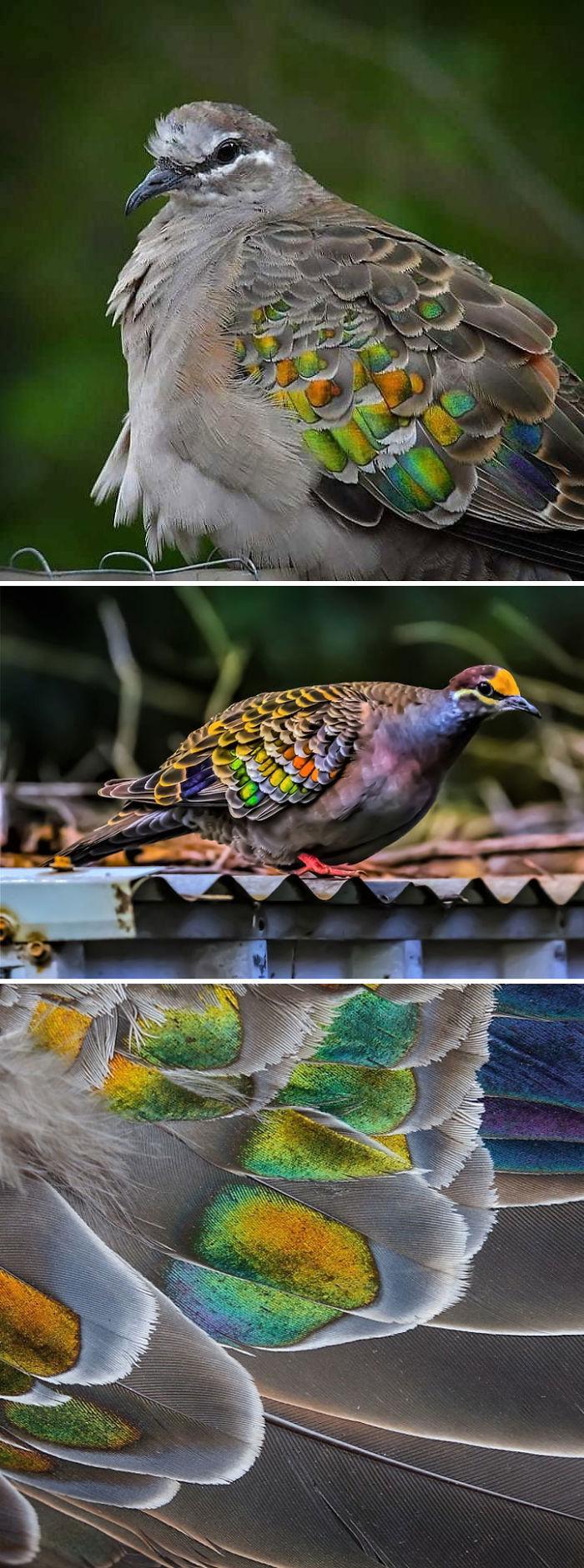 Bronzewing Pigeon