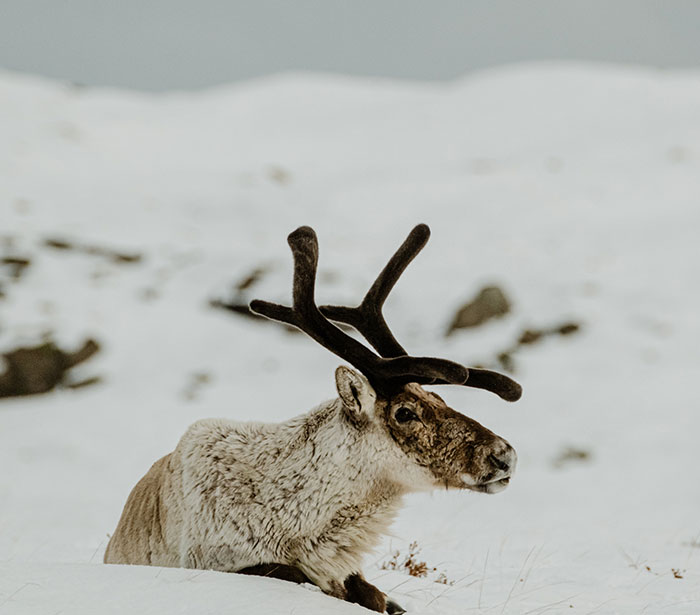 Here Are My 25 Photos Of Reindeer In Southeast Iceland