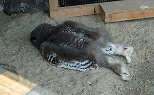 Descubren que algunos búhos duermen boca abajo, y aquí tenéis 26 fotos