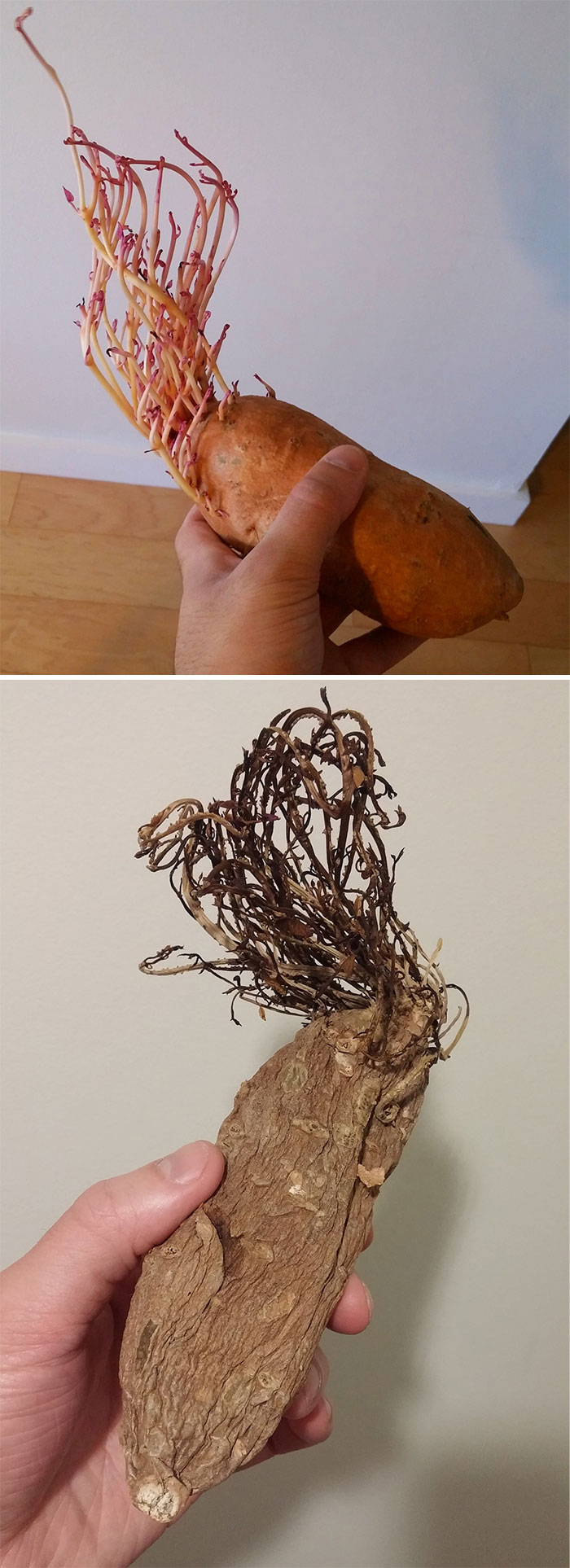 Left A Sprouting Sweet Potato In My Cupboard For A Little Over A Year. Here Are The Results.