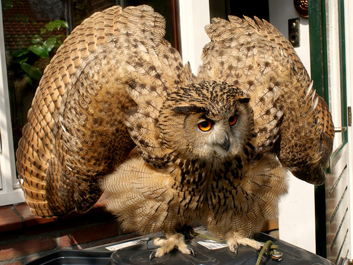 This Bird Of Prey Tries To Intimidate A Defenseless Family Cat By Showing How Big It Is