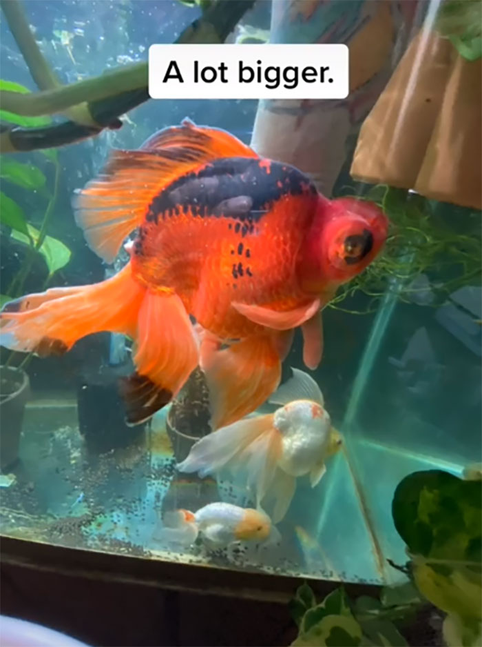 Dying, Neglected 10-Year-Old Goldfish Gets Returned To A Petstore, So This Person Nurses It Back To Health