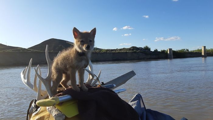 Canadian Saves Coyote Pup From Drowning And Lets Him Tag Along For A 10-Day Raft Ride