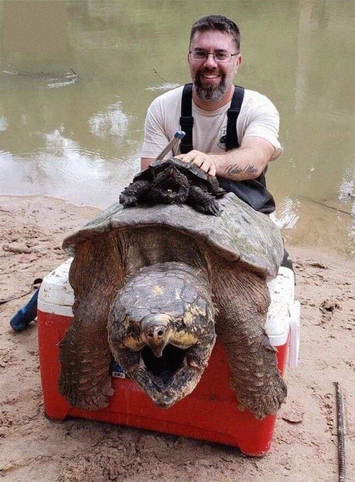 A Full Size Snapping Turtle Compared To What Most People Think Is A Full Size Snapping Turtle