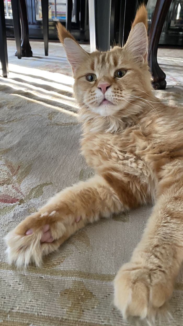 Maine Coon Babe Momo When She Was Adopted At 1 Yo