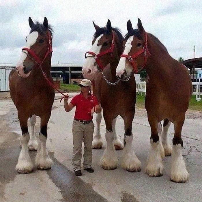 Hasta que vi esta foto no supe del tamaño de los caballos Clydesdale