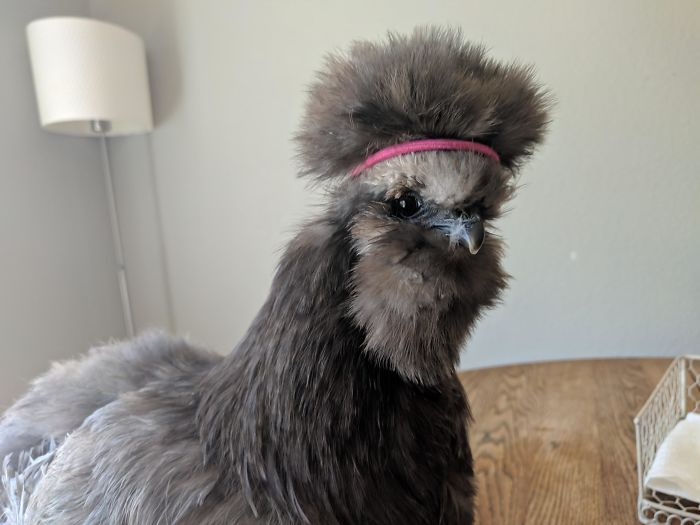 A Friend's Chicken Needs A Hairband For Its Chicken-Fro