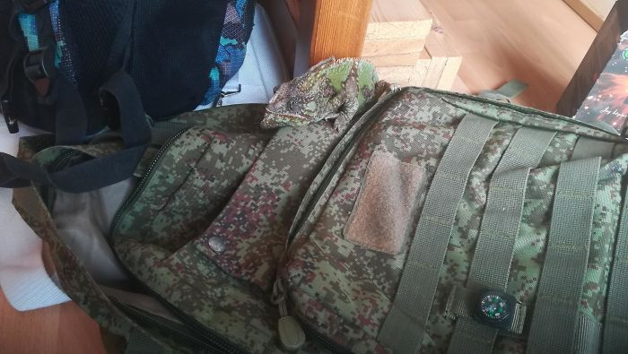 The Way My Chameleon Hides On My Military Backpack