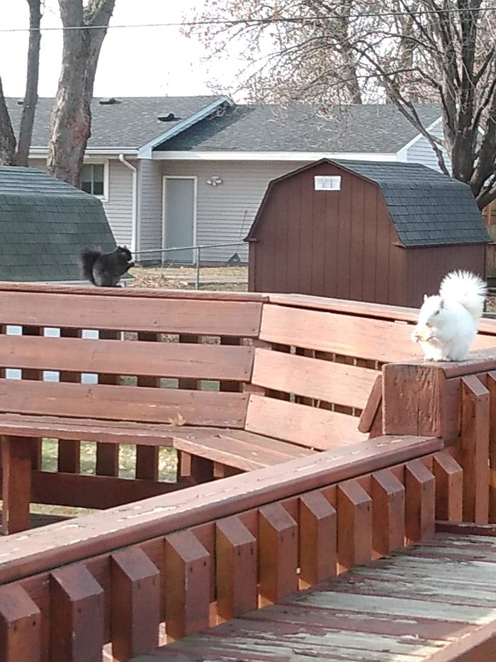 A Black Squirrel And An Albino Squirrel Eating Together In Harmony