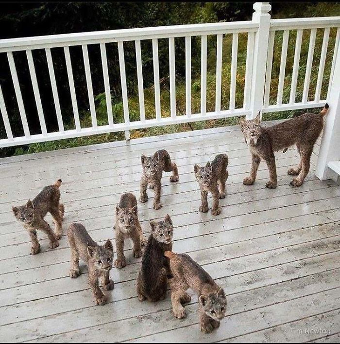 Mama Lynx With 7 Cubs. Hmm... 8x4=32 Murder Mittens!