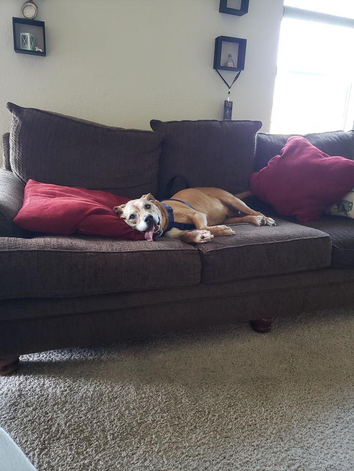 Hemos adoptado a este perro anciano de un amigo al que no le dejaban subir al sofa
