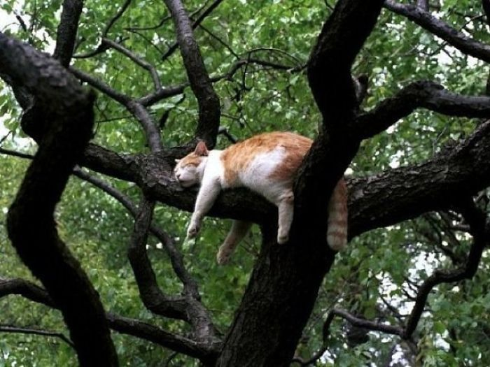 Sleeping-Cats-In-Trees