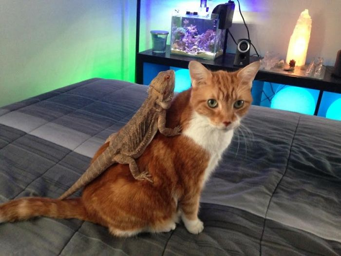 Here Is A Lizard On A Cat