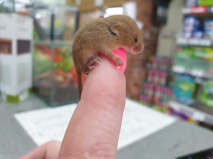 A Very Tiny Baby Harvest Mouse