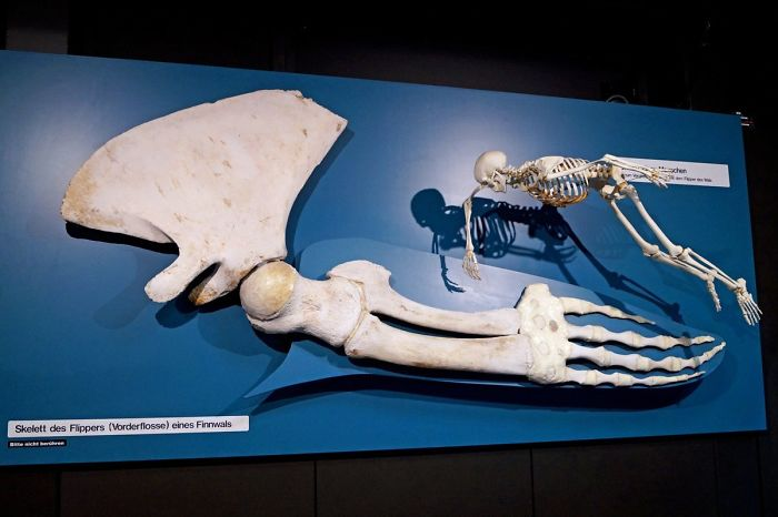 A Whale Fin Next To The Entire Skeleton Of A Human