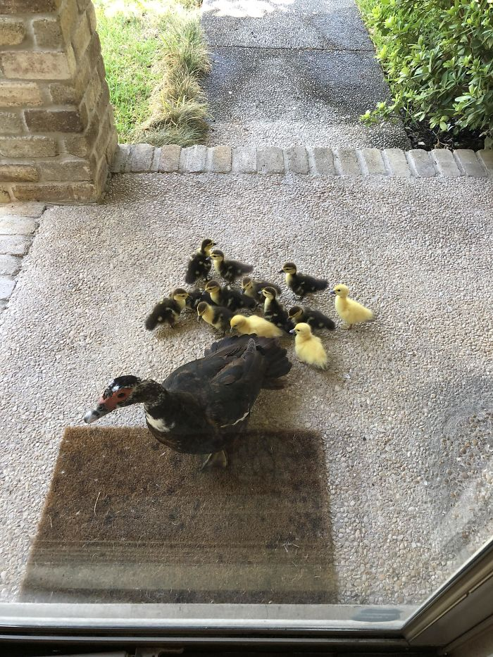 Every Year This Mama Duck Brings Her Babies To My House And I Help Her Take Care Of Them. This Morning I Opened My Door To 13 New Peeping Fluff Balls