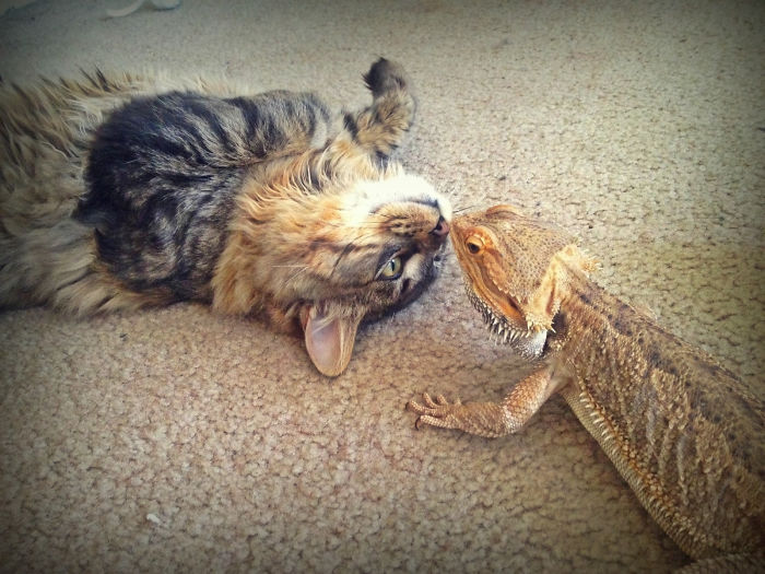 My Bearded Dragon And My Roommate's Kitten Are Buddies