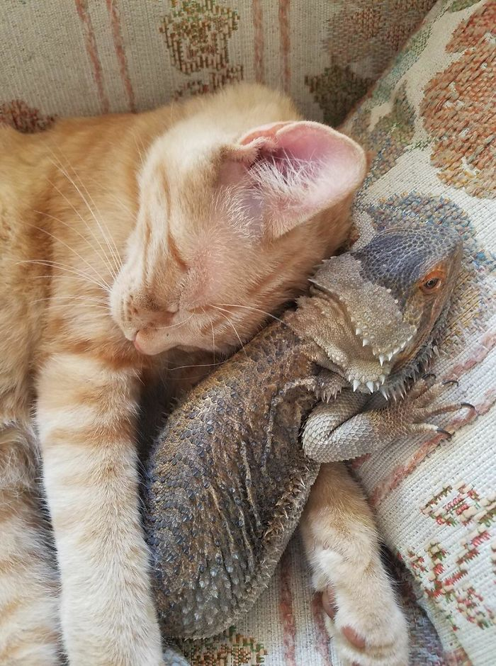 My Friends Just Posted This Pic Of Their Kitty And Their Bearded Dragon