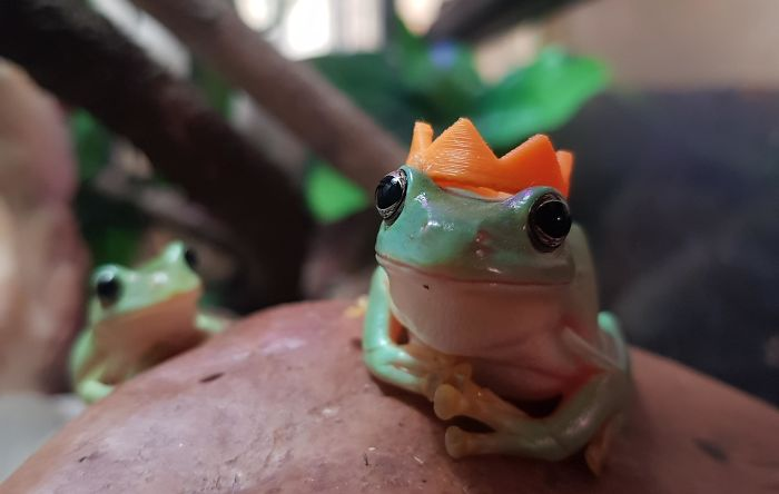 My Brother And I Have Pet Frogs And They Don't Mind If You Put Stuff On Them So We 3D Printed Little Hats