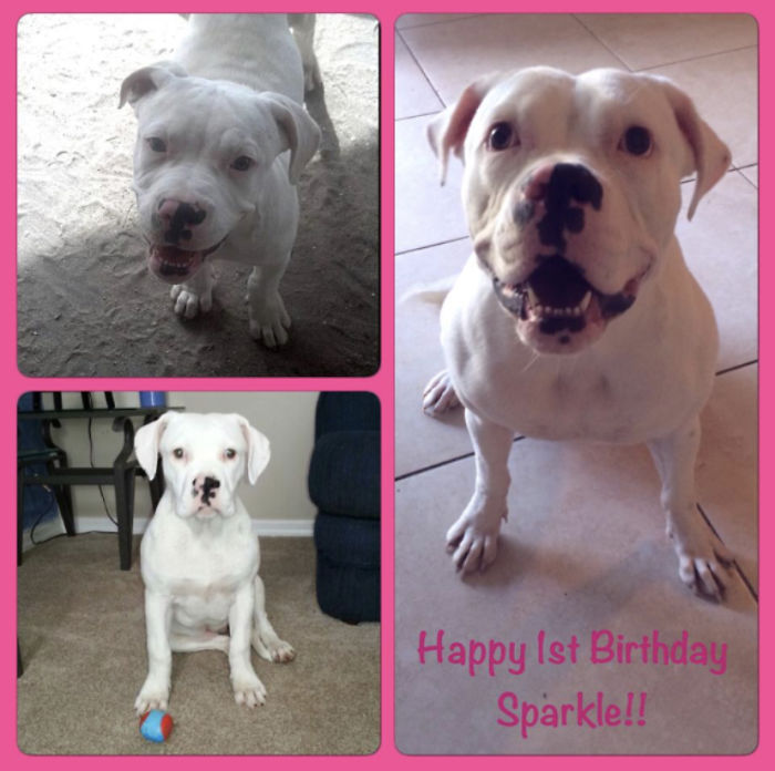 This Was My Dog Sparkle When She Was A Puppy And When She Turned One. She Is Now Turning 7 In A Few Months. She's An American Bulldog And The Biggest Baby I've Ever Had.
