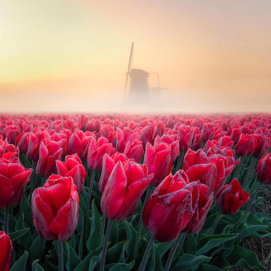 A Sunrise With Some Fog And Tulips Is Great. With A Windmill In The Distance, It's Epic