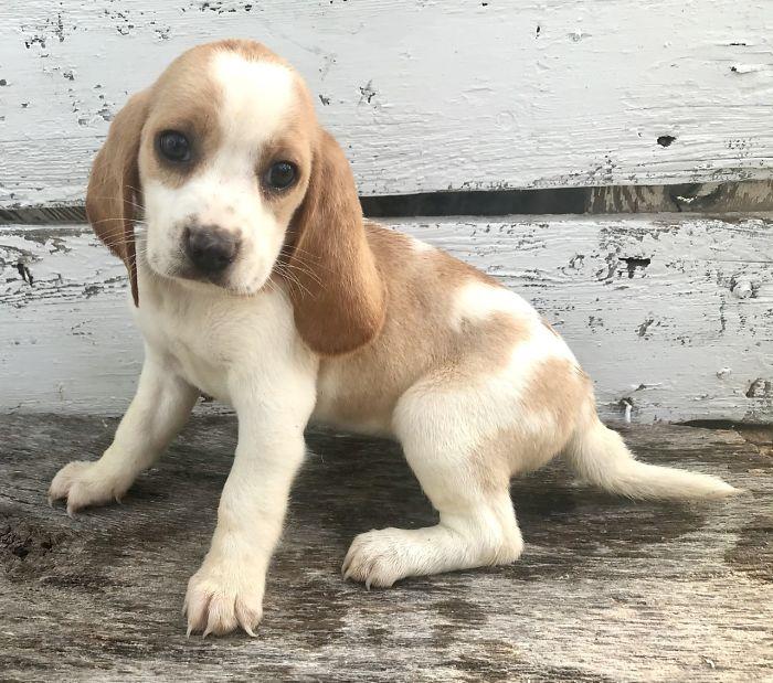 Athena, My Lil Lemon Beagle Angel