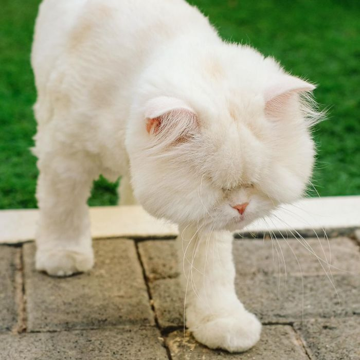 Blind-Persian-Cat-Moet