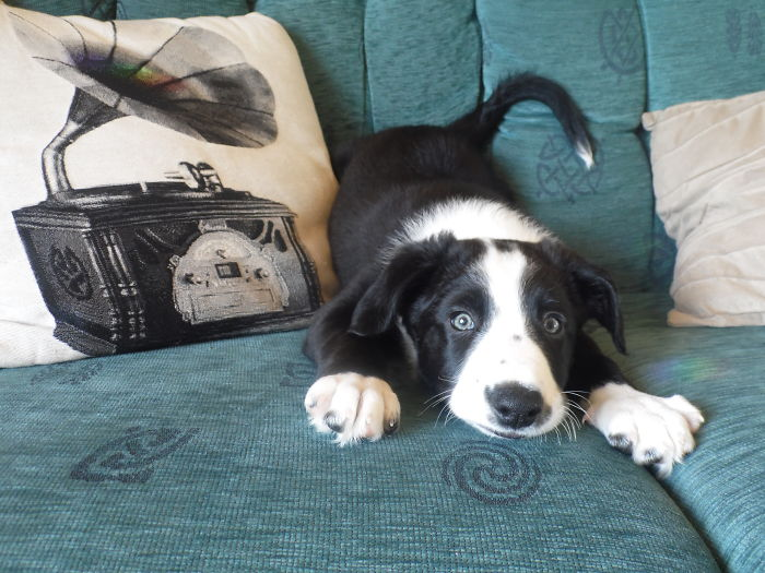 """This Is My Border Collie Shilo At 2 Months Old. He's Years Old Now But Back When This Photo Was Taken He Was The Very Embodiment Of Fun, Play And Mischief. This Is His """"What Can I Get Up To Now? """" Look!"""